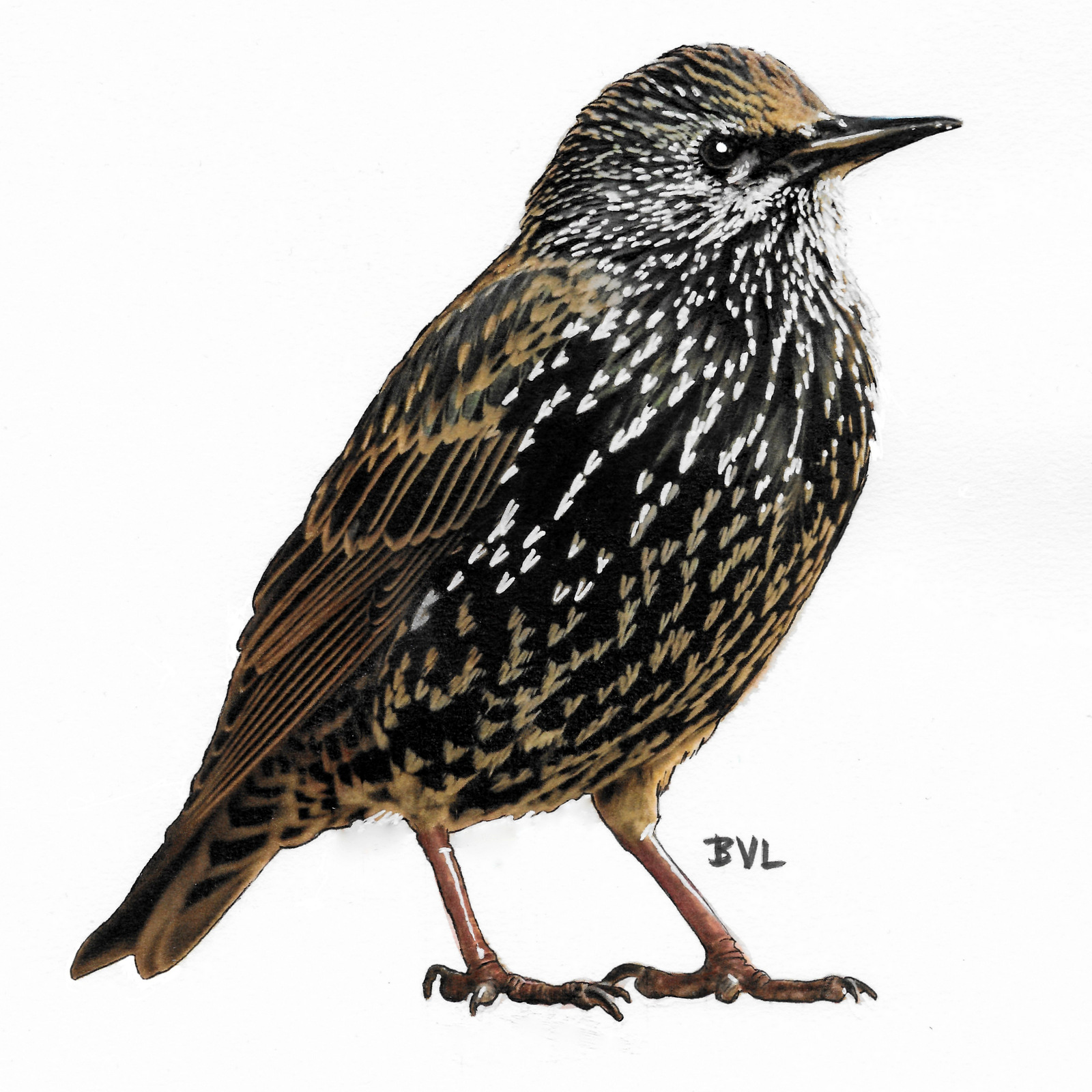 Spreeuw, Starling