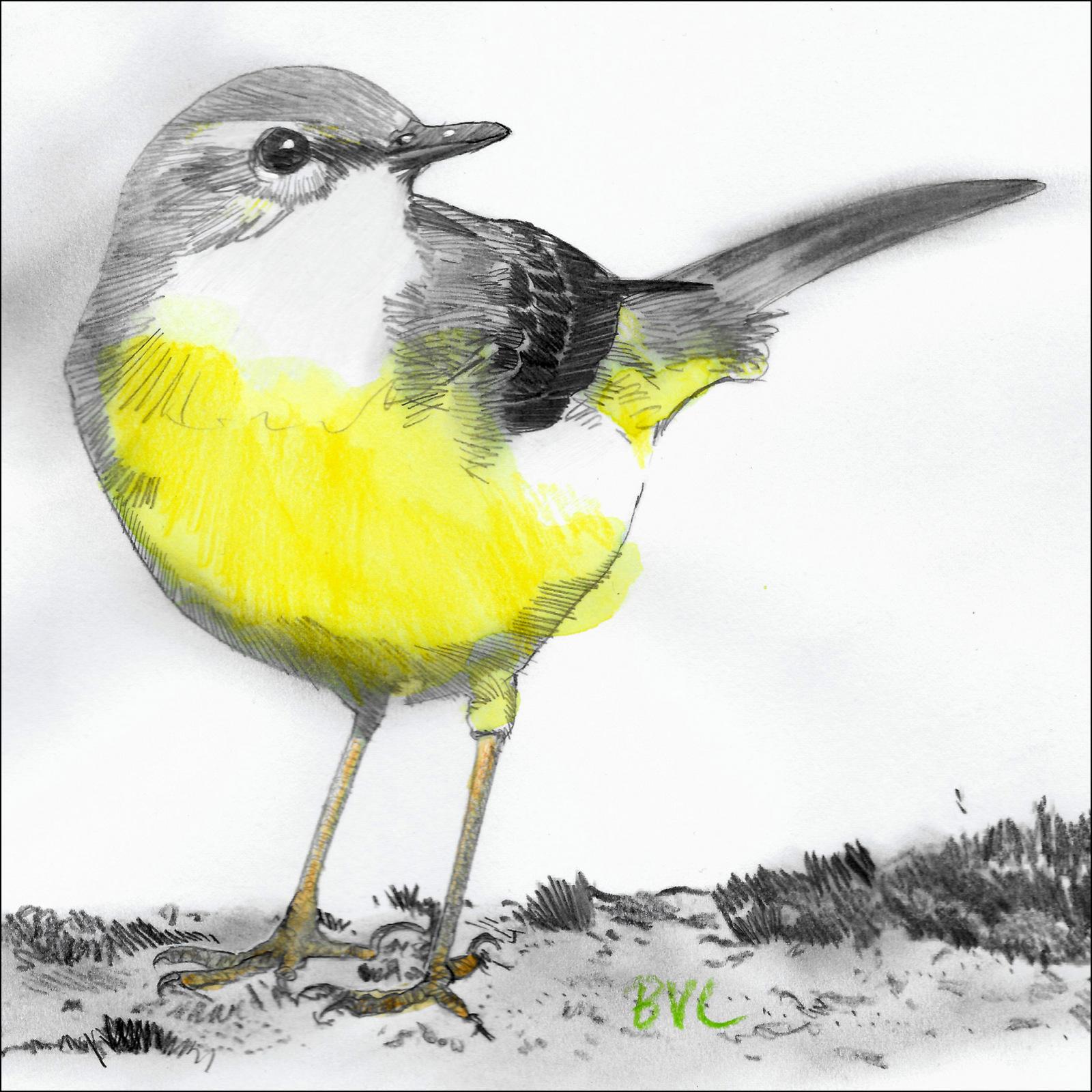 Grote Gele Kwikstaart