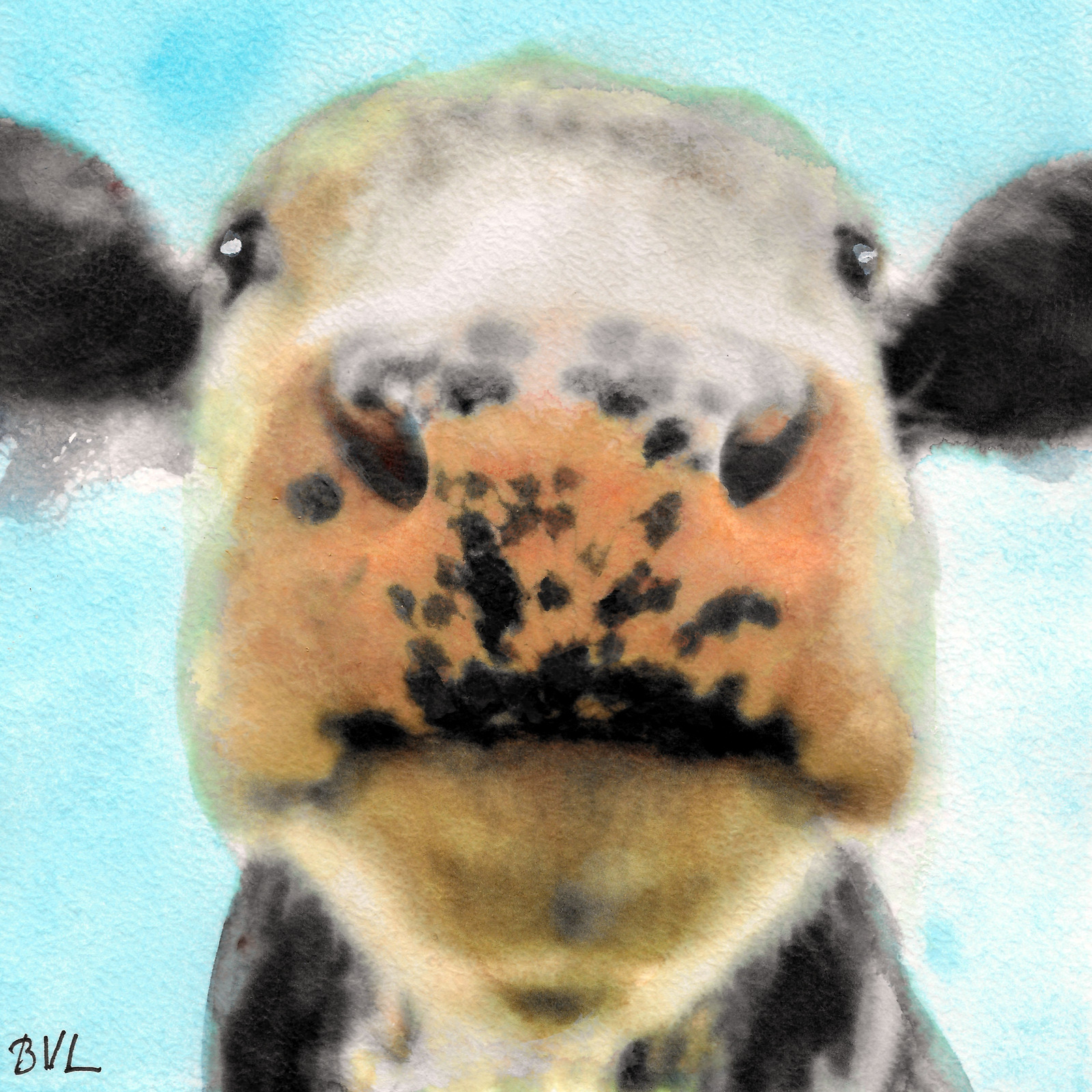 Cow, Koe