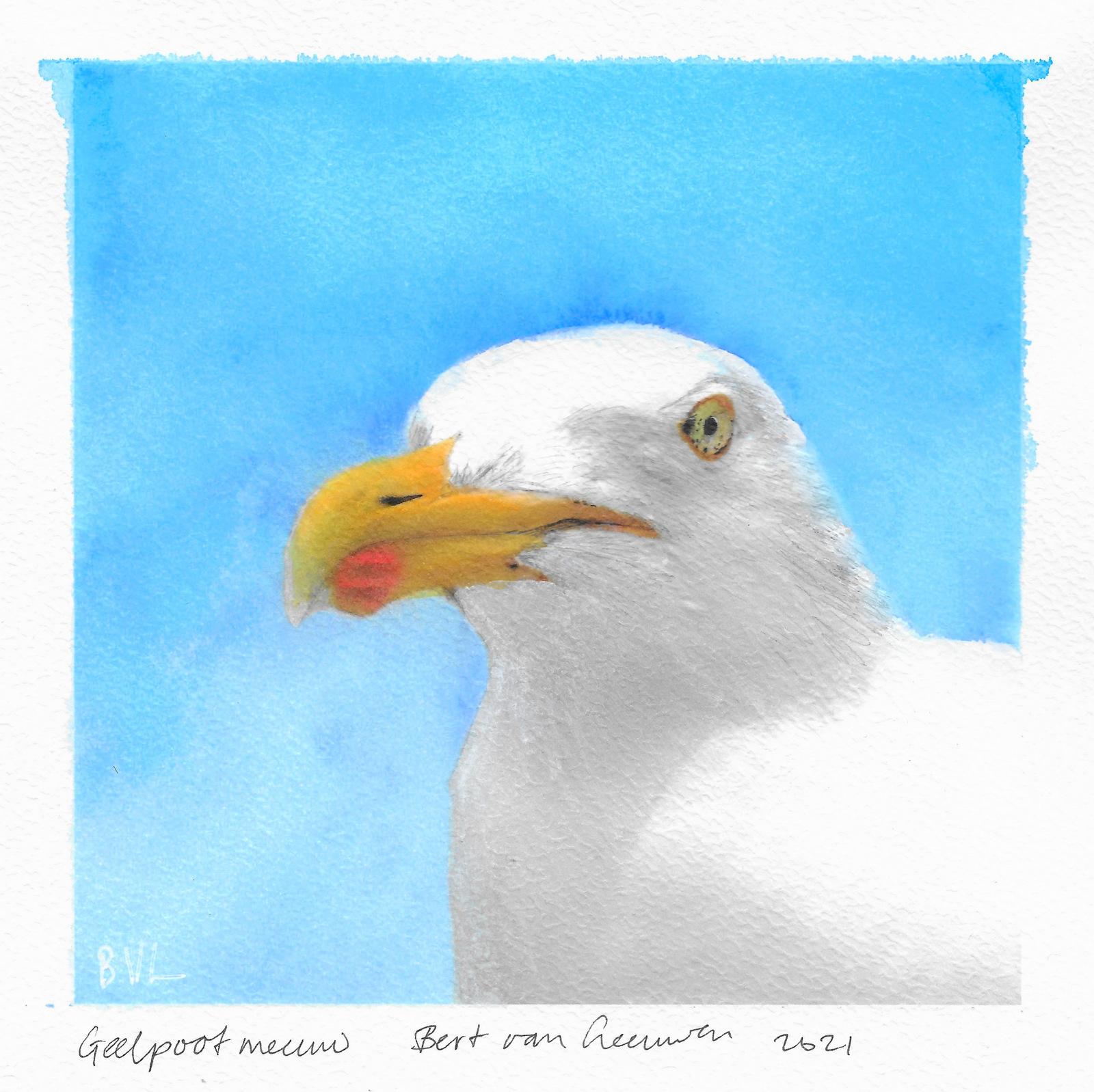Yellow-legged gull